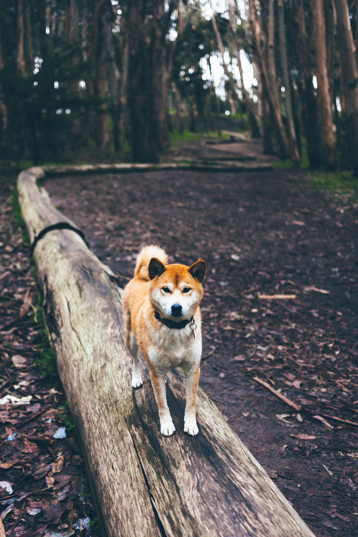 Shiba in forest
